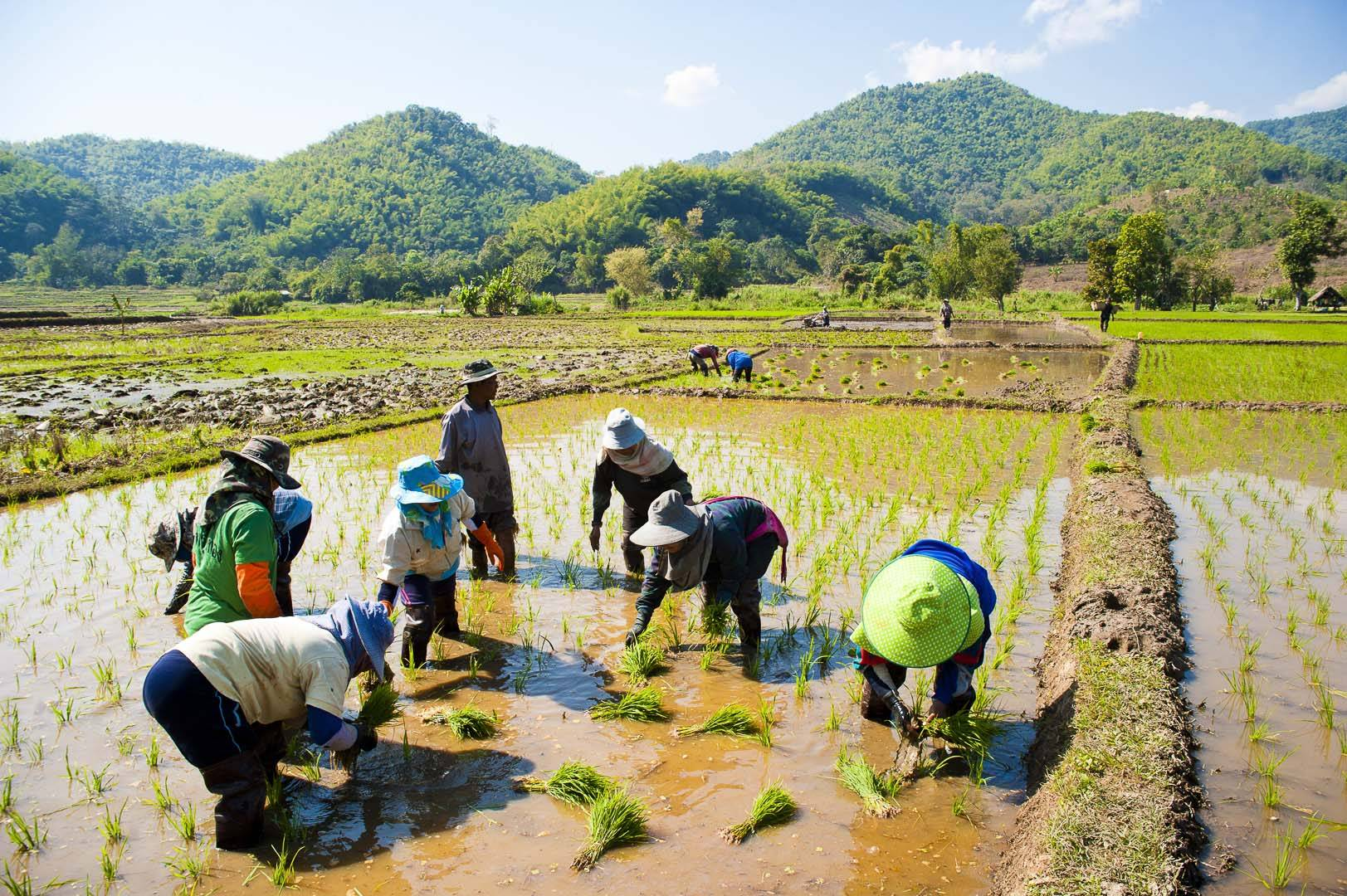 Chiang-Rai-Thailand-rice-field-workers-in-paddy-fields-by-documentary-travel-photographer-Matthew-Williams-Ellis